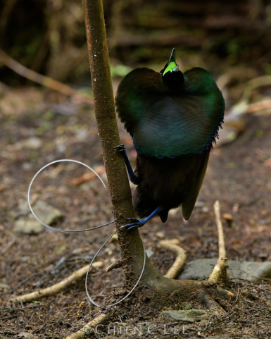 Magnificent Bird-of-paradise (Diphyllodes magnificus)