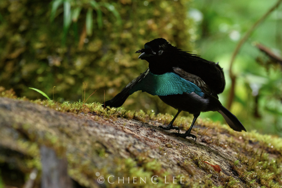 Vogelkop Superb Bird-of-paradise (Lophorina niedda)